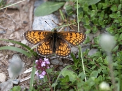 Nymphalidae: Mellicta parthenoides