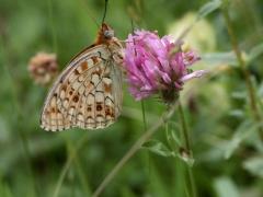 Nymphalidae: Argynnis niobe eris