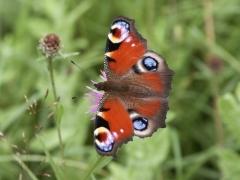 Nymphalidae: Inachis io