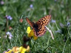 Nymphalidae: Boloria euphrosyne