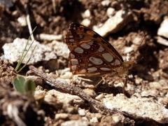 Nymphalidae: Issoria lathonia