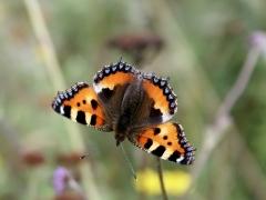Nymphalidae: Aglais urticae