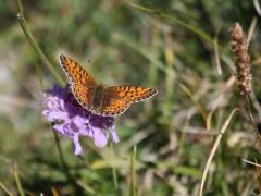 Nymphalidae: Boloria selene