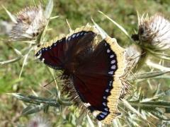 Nymphalidae: Nymphalis antiopa