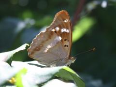 Nymphalidae: Apatura ilia