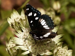 Nymphalidae : Limenitis reducta
