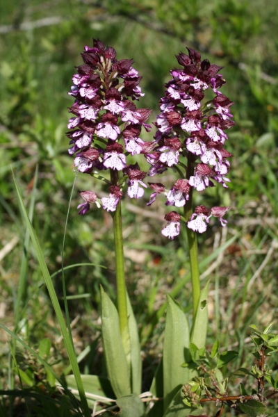 Orchis purpurea, Lady Orchid