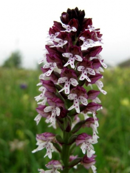 Neotinea (Orchis) ustulata, Burnt Orchid