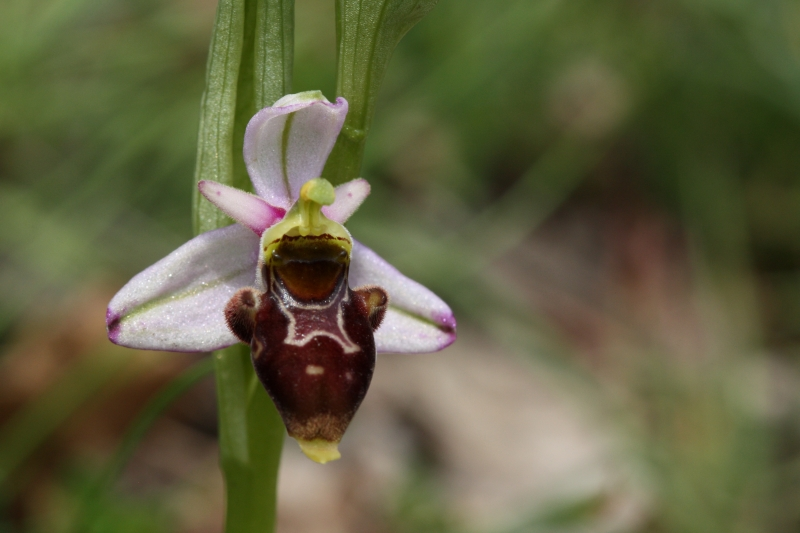 Ophrys scolopax, Woodcock Orchid