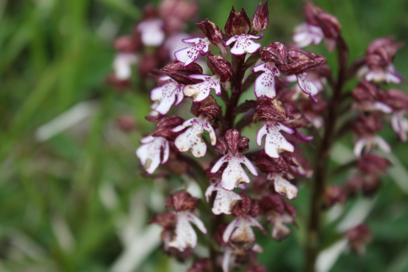 Orchis purpura, Lady Orchid