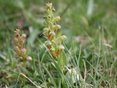 Dactylorhiza viride, Frog Orchid