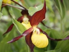Cypripedium calceolus, Lady's Slipper Orchid