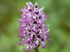Orchis simis, Monkey Orchid