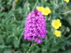 Anacamptis pyramidalis, Pyramidal Orchid