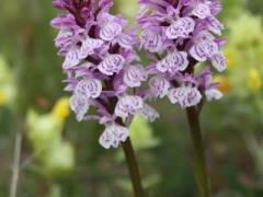 Dactylorhiza fuchsii, Common Spotted Orchid