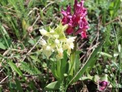 Dactylorhiza sambucina, Elder-flowered Orchid