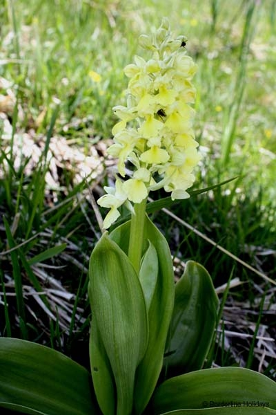 Orchis pallens, Pale-flowered Orchid