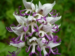 Orchis simia, Monkey Orchid