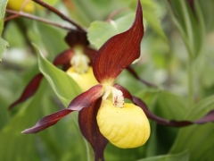 Cypripedium calceolus, Lady's Slipper Orchid