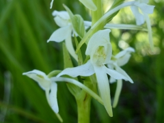 Platanthera bifolia, Lesser Butterfly Orchid