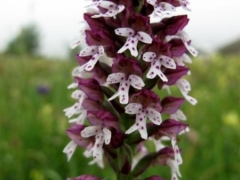 Neotinea (Orchis) ustulata, Burnt Orchid