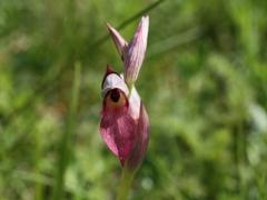 Serapias lingua, Tongue Orchid