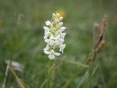 Gymnadenia conopsea var alba, Fragrant Orchid white form