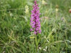 Gymnadenia conopsea, Fragrant Orchid