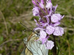 Dactylorhiza maculata with Aporia crataegi, Heath Spotted Orchid with Black-veined White