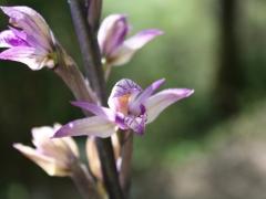 Limodorum abortivum, Violet Bird's nest Orchid