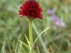 Gymnadenia nigra, Black Vanilla Orchid