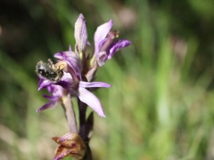 Limodorum abortivum, Violet Birds-nest Orchid