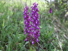 Orchis mascula, Early Purple Orchid