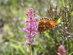 Gymnadenia conopsea with Boloria euphrosyne, Fragrant Orchid with Pearl-borderedfritillary