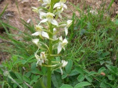 Platanthera chlorantha, Greater Butterfly Orchid