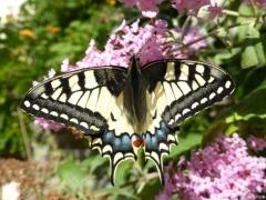 Papilionidae: Papilio machaon