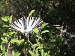 Papilionidae: Iphiclides podalirius