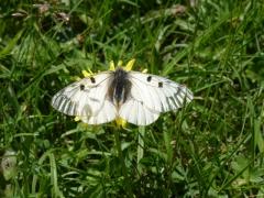 Papilionidae: Parnassius mnemosyne