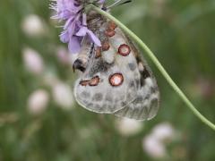 Papilionidae: Parnassius apollo