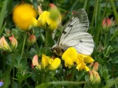 Papillionidae: Parnassius mnemosyne
