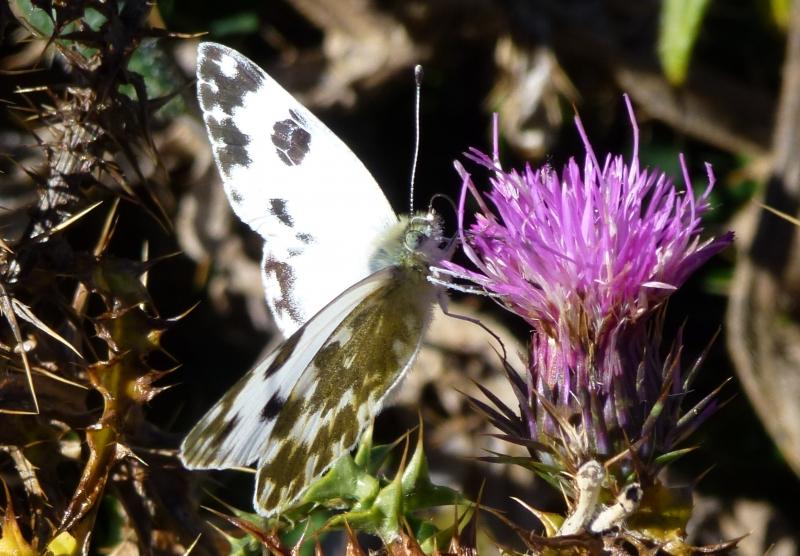 Pieridae: Pontia daplidice