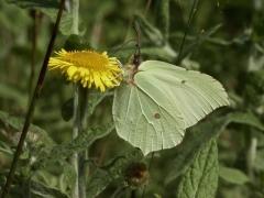 Pieridae: Gonepteryx rhamni