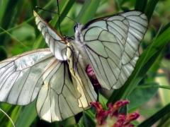 Pieridae: Aporia crataegi