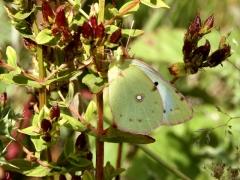 Pieridae: Colias crocea