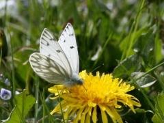 Pieridae: Pontia callidice