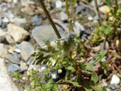 Pieridae: Euchloe simplonia