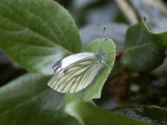 Pieridae: Pieris napi