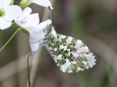 Pieridae: Anthocharis cardamines