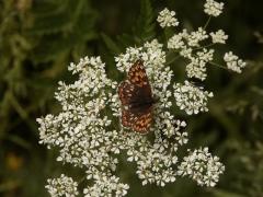 Riodinidae: Hamearis lucina