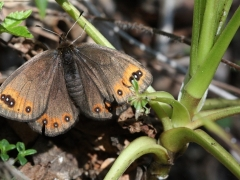 Satyridae: Erebia triaria